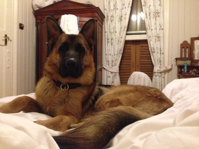 male-german-shepherd-12mths-in-his-favourite-spot