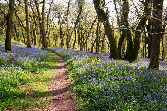 english bluebell woodland forest