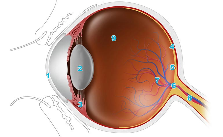 An easy guide to your eye\u0027s anatomy Lenstoreuk