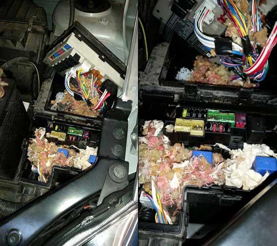 Mouse Damange In Car Fuse Box - Leo  Sons Auto Repair