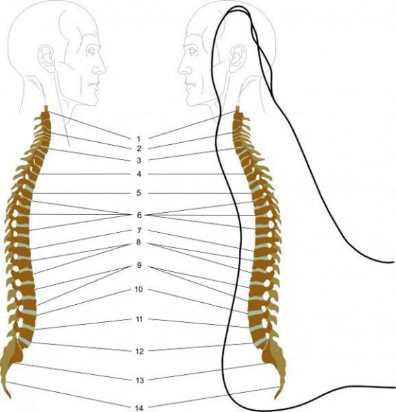 Les douleurs dans le coccyx et le dos de la raison et le traitement