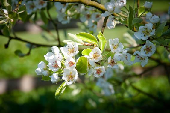 vergers fleurs poiriers les bruyères carré moyaux pays d'auge normandie