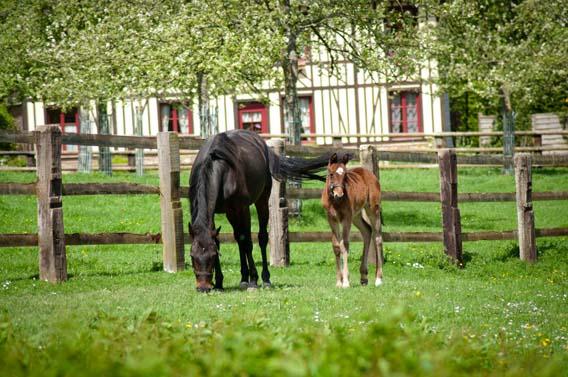 cheval poulain ferme les bruyères carré moyaux pays d'auge normandie