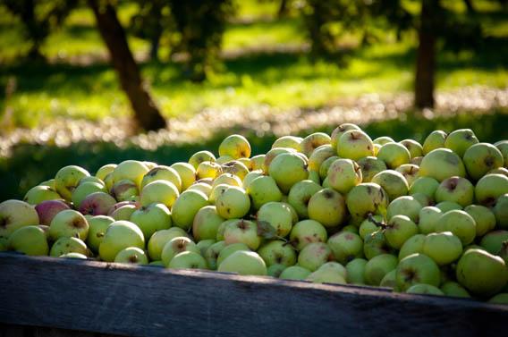récolte pommes calvados normandie