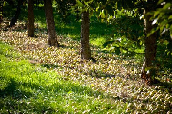 pommes vergers nature calvados normandie