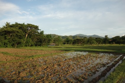 Champs de riz, avant repiquage