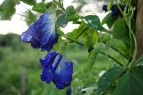 Blue pees flower, délicieux en tisane !