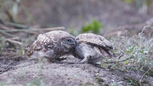 Owlets share a moment