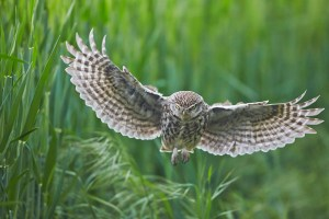 Little Owl, Athene noctua, in flight, East Yorkshire, England, UK, introduced to Britain 19th century, partly diurnal.