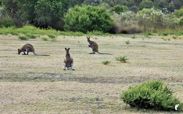 wallabys kangourou road