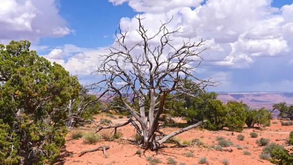 Arbre à Canyonlands