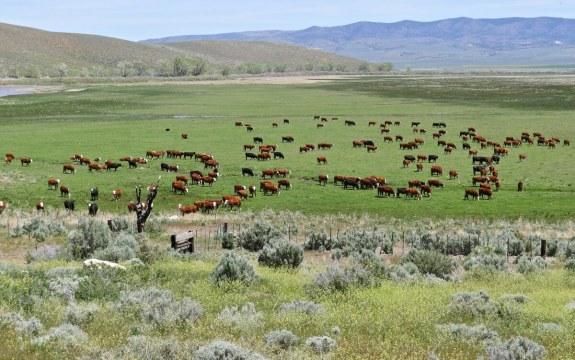 vache usa champs