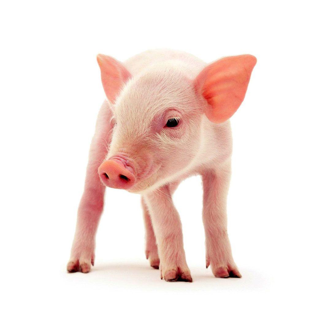Test de Personalidad El Cerdo