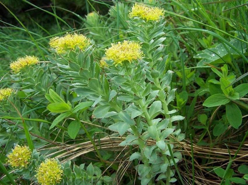 Rhodiola Rosea Natural antidepressant