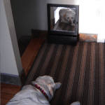 What Does A Dog See In The Mirror
