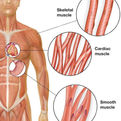Smooth Muscle Diagram Wiring Diagram
