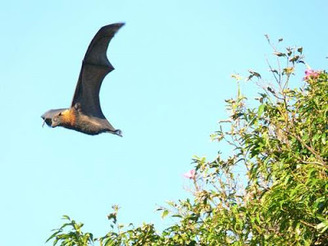 The public domain is way better at taking pictures of flying foxes than I am.