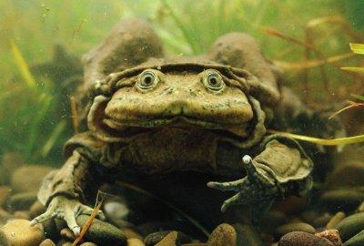 Scrotum Frog (Telmatobius culeus) — Photo by Pete Oxford / Minden Pictures