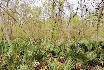 Palmettos and trees at Palmetto State Park, Texas