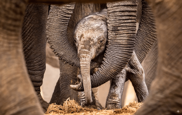 Newborn African elephant — Source: bioGraphic