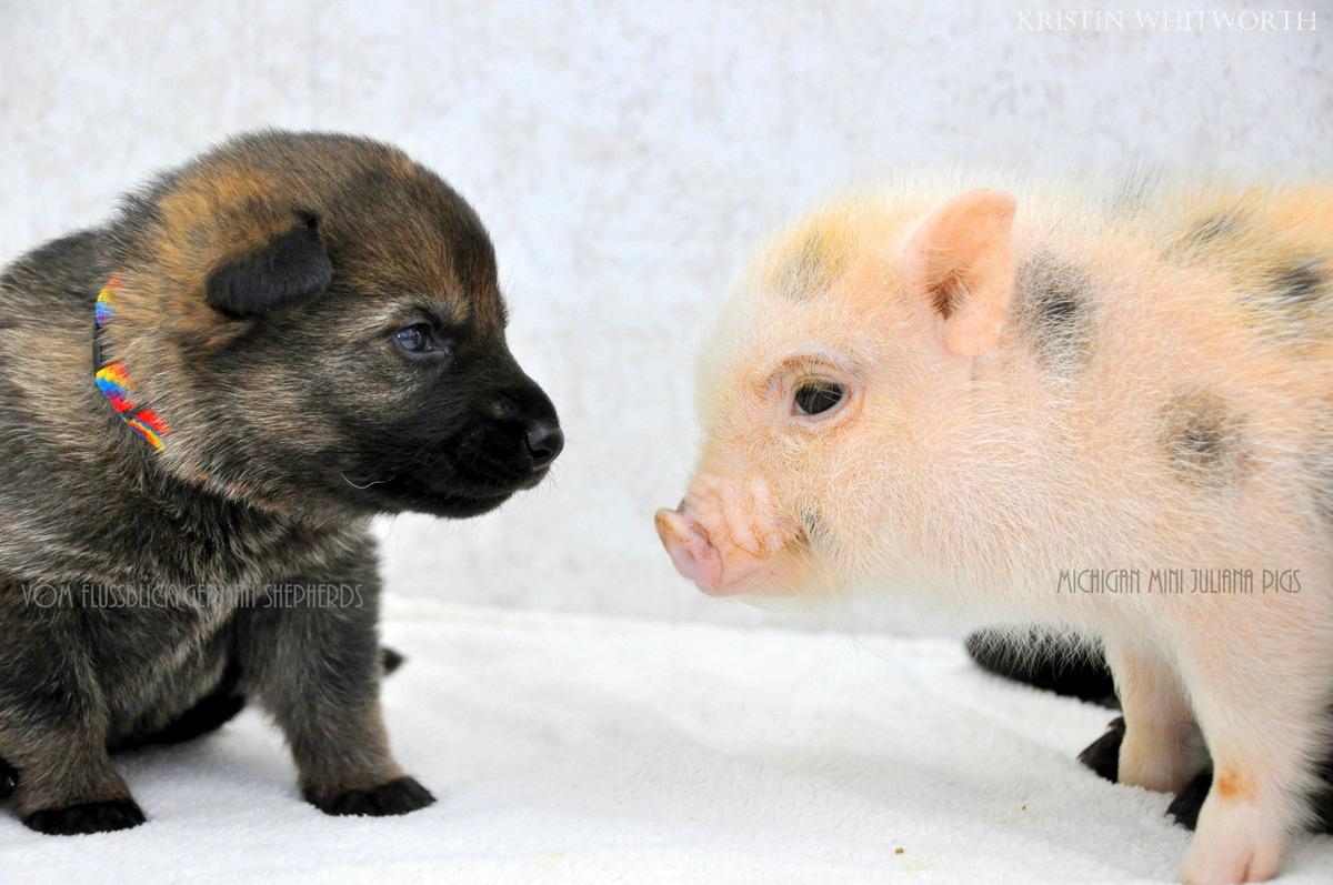 Cute Piggies Wallpaper German Shepherd Puppies Amp Mini Piglets Are Best Buddies