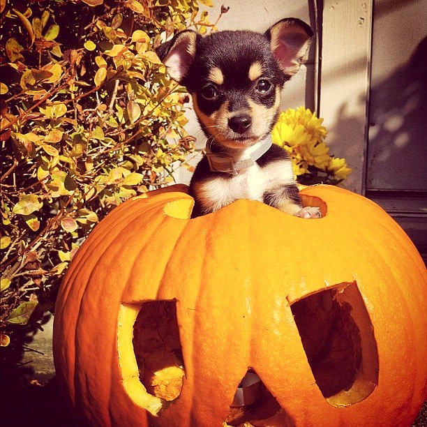 Cute Shih Tzu Puppies Wallpaper 20 Puppies Who Love Halloween Life With Dogs
