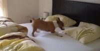Joyful Dog Jumps on Bed