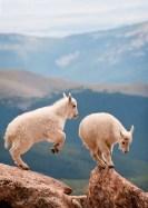 Mountain Goat Kids