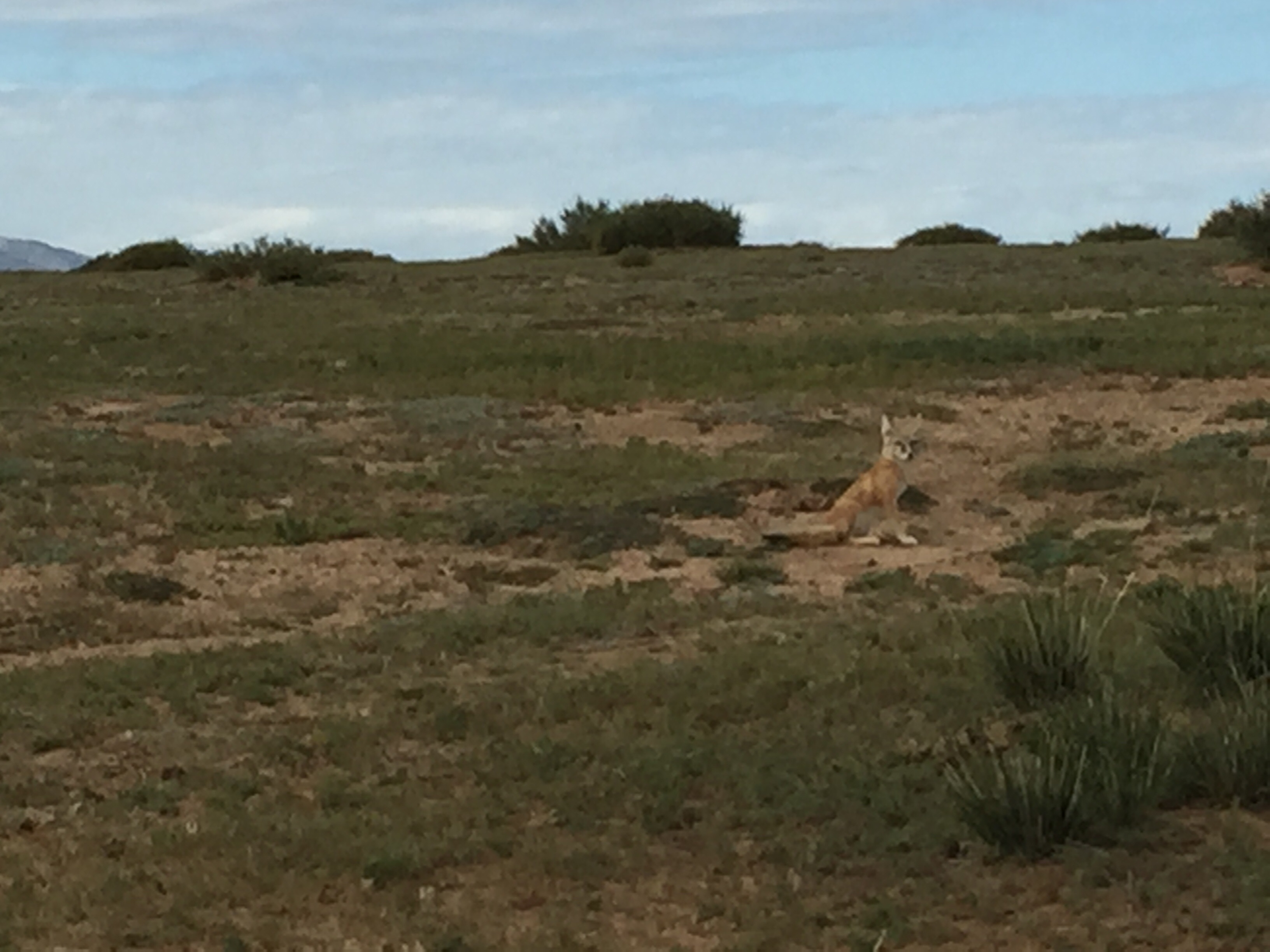 Unfortunately, none of my pictures turned out well. But that's a fox, hanging out, not 100 feet from the road.