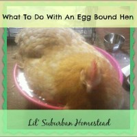 What To Do With An Egg Bound Hen