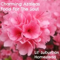 Charming North Carolina Azaleas Food For The Soul