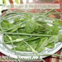 Garlic Scape and Basil Pesto Recipe