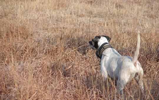 Upland Birds- Pheasant hunting Kansas (13)