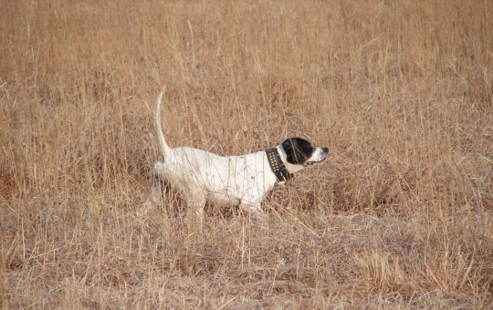 Upland Birds- Pheasant hunting Kansas (14)