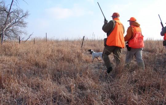 Upland Birds- Pheasant hunting Kansas (15)
