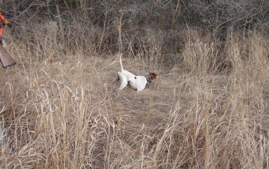 Upland Birds- Pheasant hunting Kansas (21)