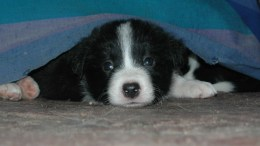 Picture copyright: Throttler at en.wikipedia. Original version at: http://en.wikipedia.org/wiki/File:Collie_Puppy_2010.JPG