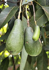 300px-Seedless_Avocado_in_Mexico