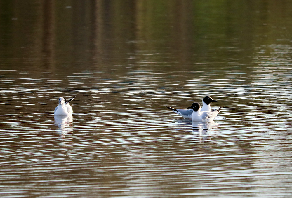 Two Bonaparte's Gull swimming on Ford Lake