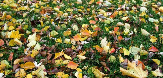 Colorful fall leaves on lawn
