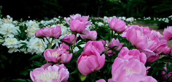 Pink and white peonies at the Peony Garden in Nichols Arboretum