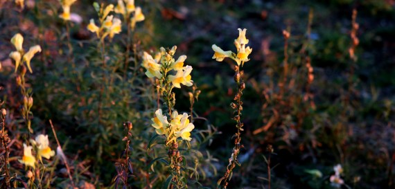 Yellow wildflowers on the shoreline of Lake Huron