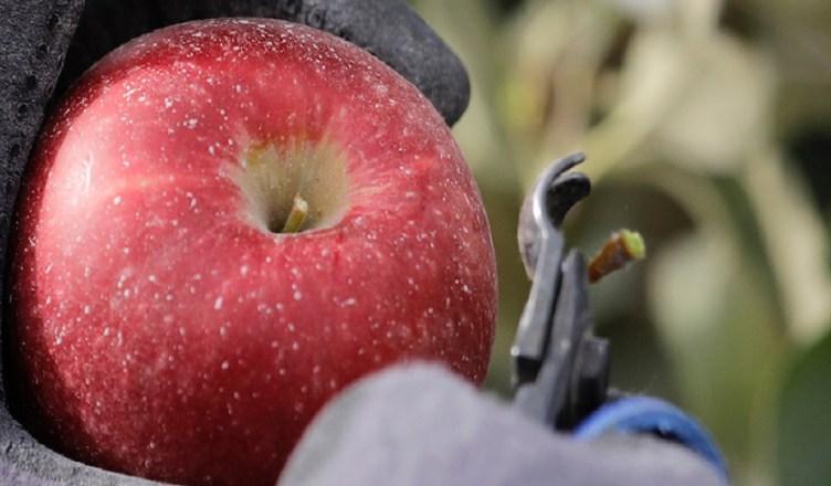 cosmic crisp nuova mela