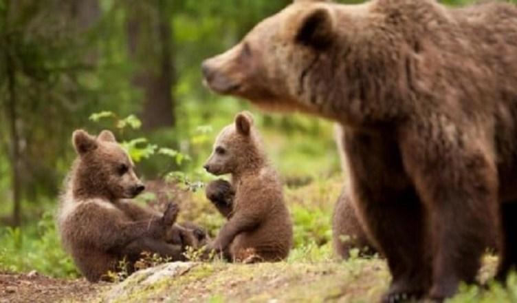 orso e cuccioli