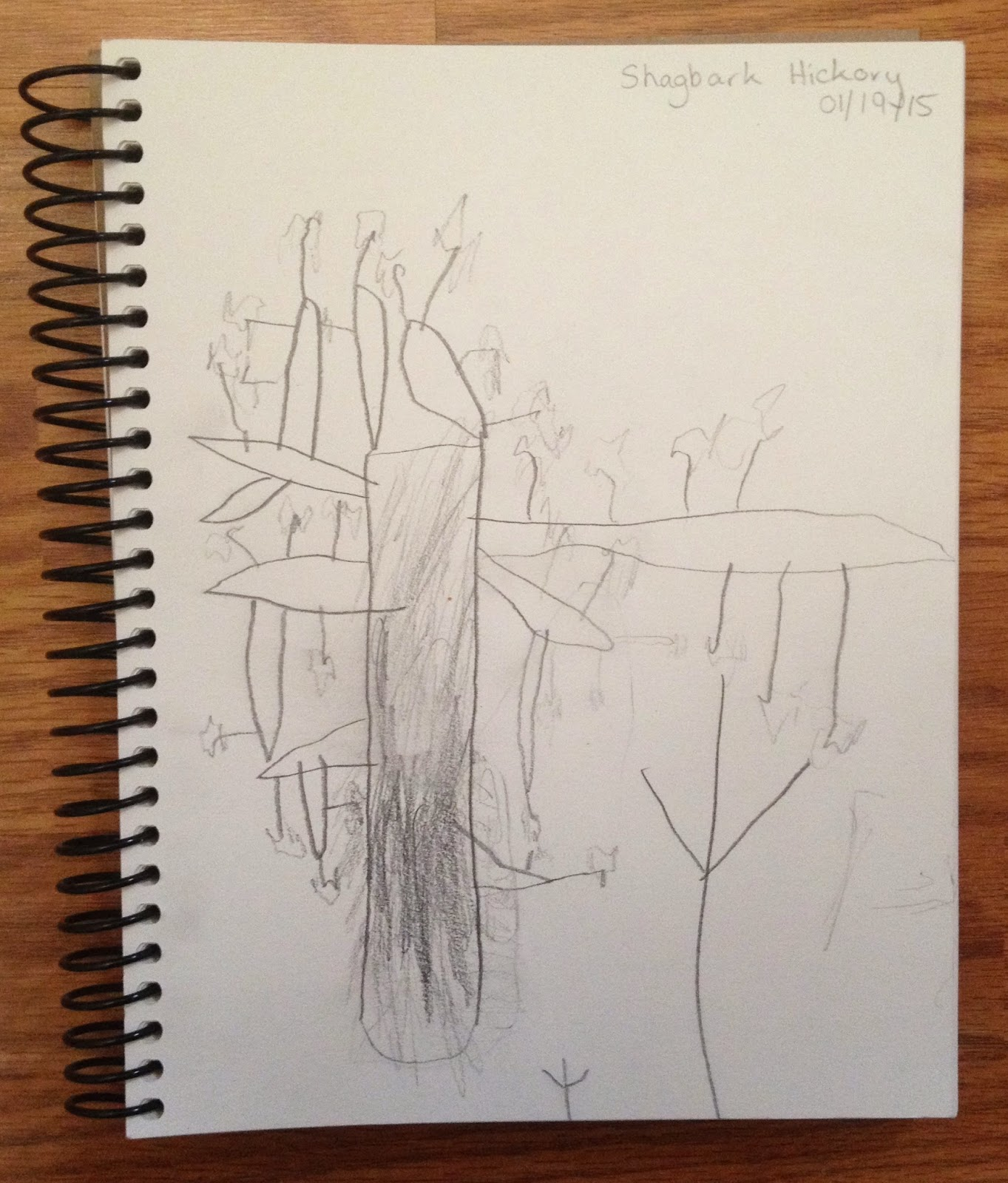 Nature Notebooks: Shagbark Hickory Sketches