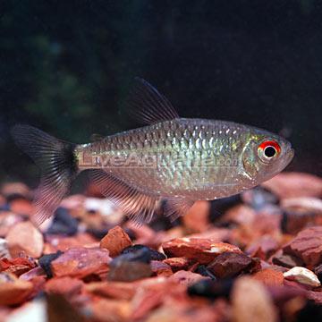 Red Eye Tetra (Moenkhausia sanctaefilomene)