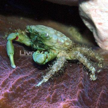 Saltwater Aquarium Crabs for Marine Aquariums: Emerald Crab