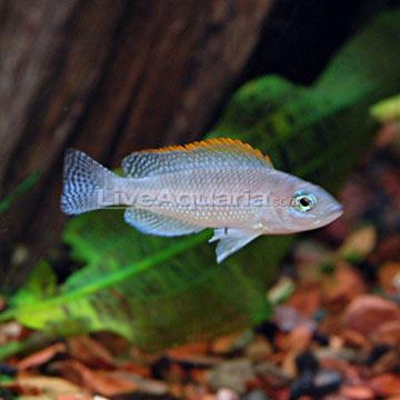 Tropical Fish for Freshwater Aquariums: Caudopunctatus Cichlid