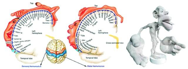 cortical-homunculus-image