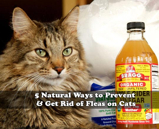 5 Natural Ways To Prevent Get Rid Of Fleas On Cats
